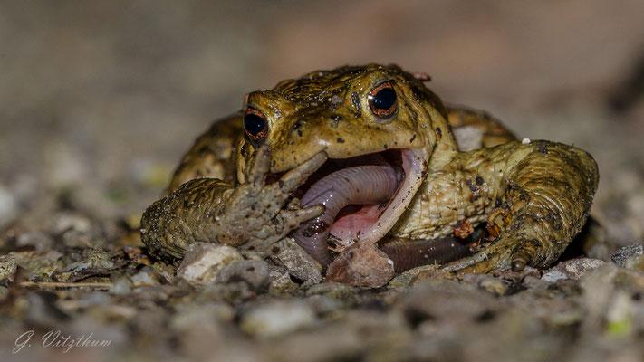 Erdkröte, Männchen, Enzauen Pforzheim