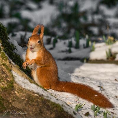 Eichhörnchen (Farbvariante rot), Hauptfriedhof Pforzheim