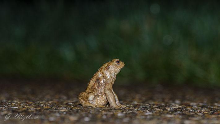 Erdkrötenmännchen auf Brautschau