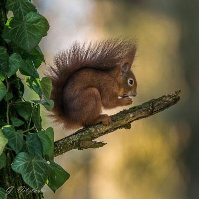 Eichhörnchen (Farbvariante braun), Hauptfriedhof Pforzheim