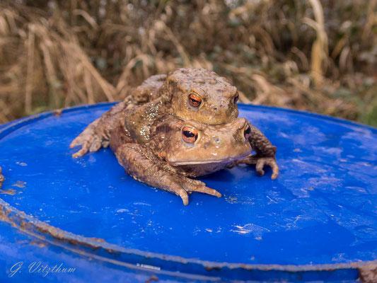 Schindersklamm: Erdkrötenpaar am 02.03.2020
