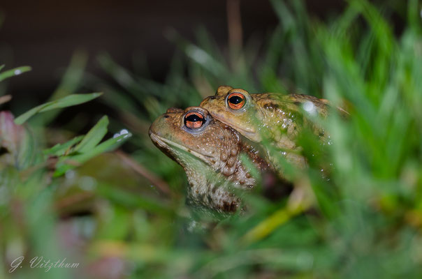 Erdkrötenpaar, Pforzheim