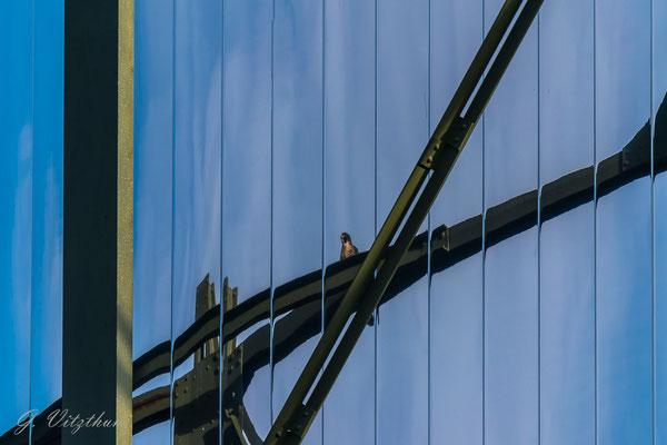 Wanderfalke, Spiegelbild, Enzauen Pforzheim