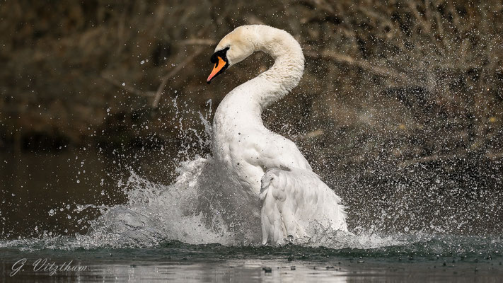 Höckerschwan, Männchen, intensives Baden während der Brutpause
