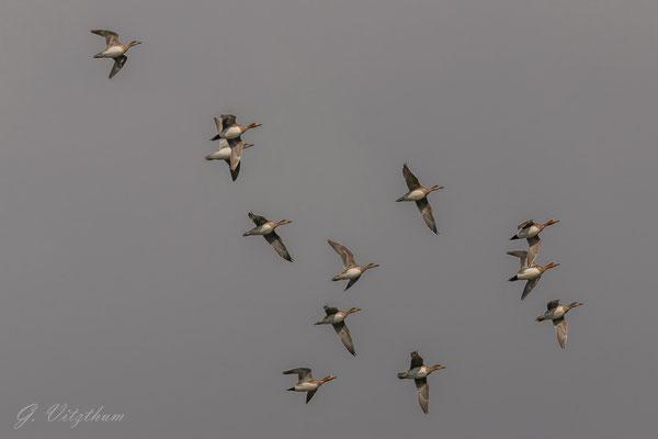 Pfeifente (4 Männchen, 8 Weibchen), Enzkreis
