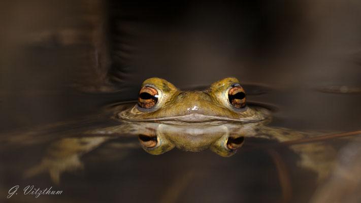 Erdkröte, Männchen; Pforzheim