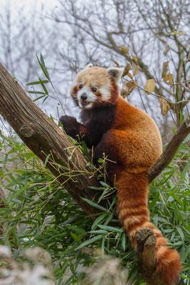 Ulrike Emschermann: Kleiner Panda