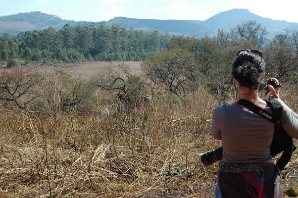 wandeling in Mlilwane, zebra