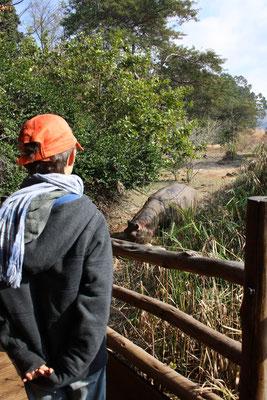 Erg kortbij nijlpaard bekijken