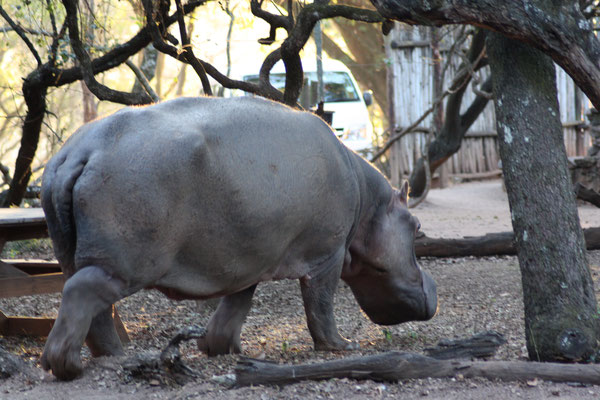 Nijlpaard Lucia, Mlilwane