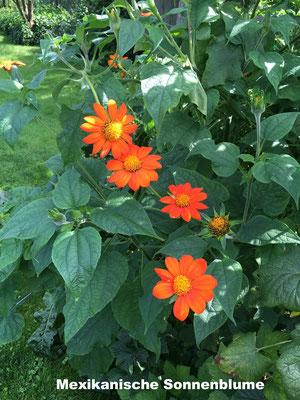 Mexikanische Sonnenblume