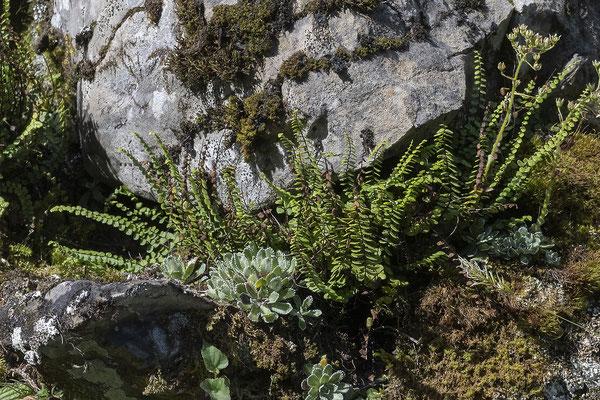 Braunstieliger Streifenfarn  •  Asplenium trichomanes subsp. quadrivalens.  © Françoise Alsaker