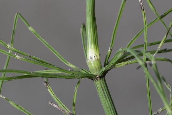 Ufer-Schachtelhalm  •  Equisetum x litorale. Im oberen Sprossabschnitt ist das unterste Seitenastinternodium länger als die dazugehörende Blattscheide © Françoise Alsaker