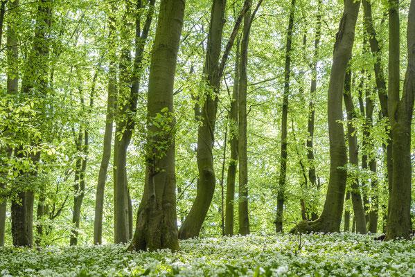 Bärlauch im Teutoburger Wald