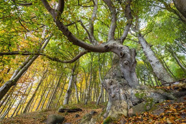 Herbstwald Jasmund, Herbst 2018