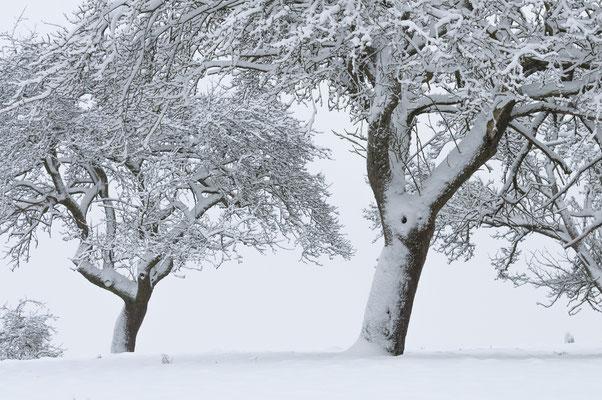 Verschneite Obstbäume