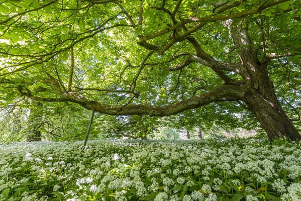 Bärlauchblüte Schlosspark Putbus