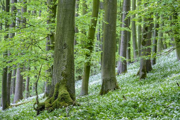 Bärlauchblüte am Hermannsweg, Teutoburger Wald