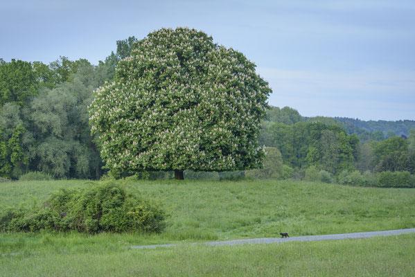 Blühende Kastanie, Tecklenburger Land