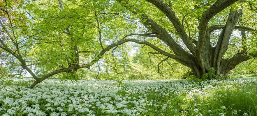 Bärlauchblüte Park Putbus