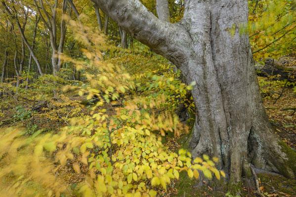 Herbstwald Jasmnund, Herbst 2018