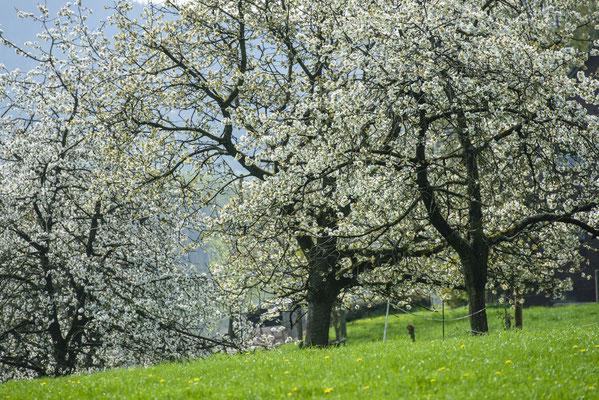 Kirschblüte in Hagen ATW