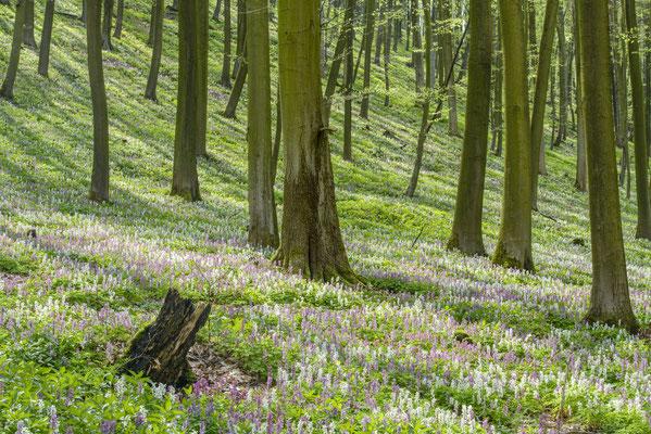 Lerchenspornblüte Freeden bei Bad Iburg