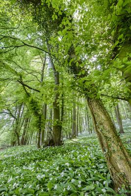 Bärlauch Teutoburger Wald