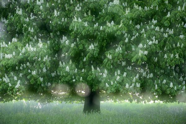 Blühende Kastanie