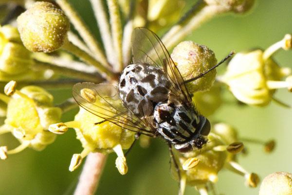 Gefleckte Hausfliege Graphomya maculata