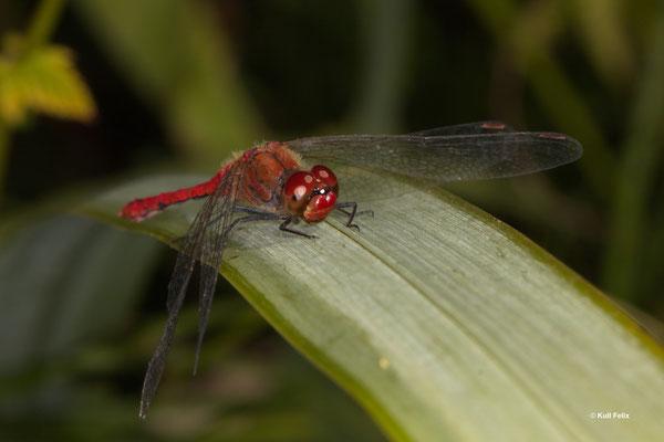 Blutrote Heidelibelle Sympetrum sanguineum