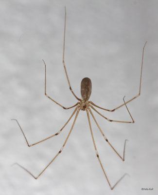 Grosse Zitterspinne Pholcus phalongoides