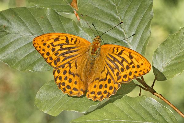Kaisermante Argynnis paphia