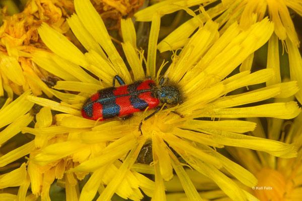 ZottigeR Bienenkäfer Trichoides alvearius
