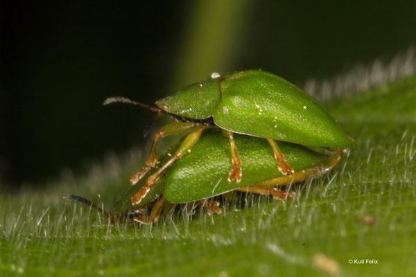 Grüner Schildkäfer Cassida viridis