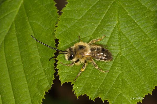 Langhornbiene Eucerini sp