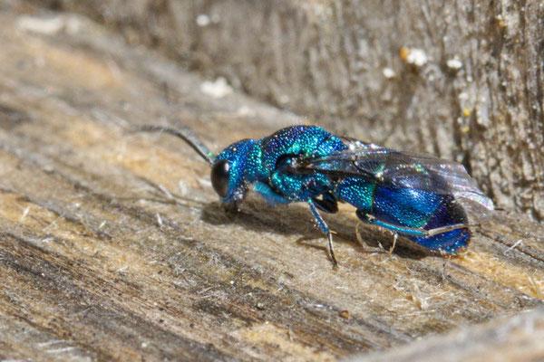 Blaue Goldwespe Trichyris cyanea