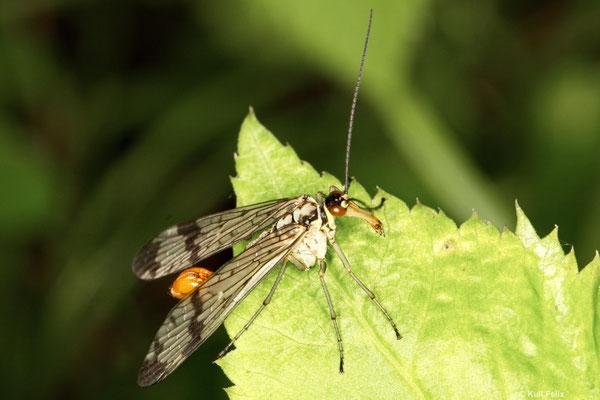Skorpionsfliege Panorpa communis