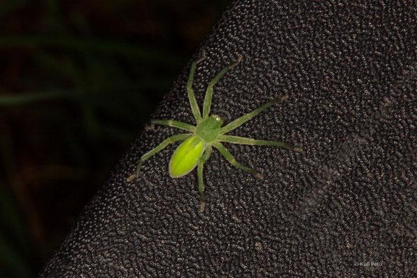 Grüne Huschspinne Micrommata virescens