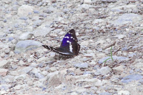 Grosser Schillerfalter Aptura iris