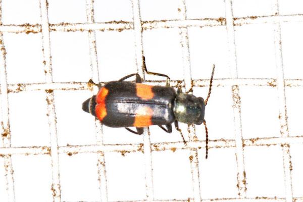 Gebänderter Warzenkäfer Anthocomus fasciatus