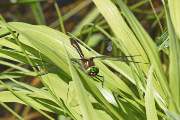 Falkenlibelle Cordulia aenea