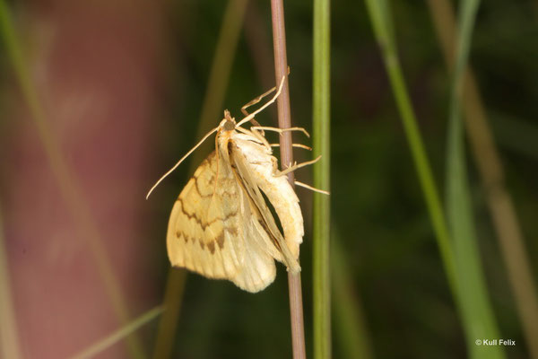 Schwefelgelber Haarbüschelspanner_Gandaritis pyraliata