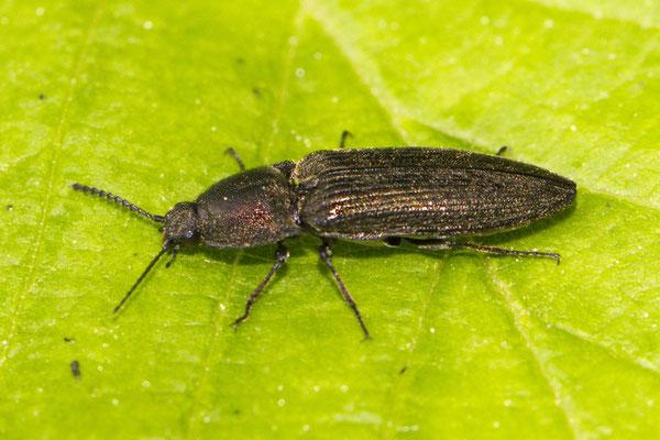 Schnellkäfer Elatridae sp