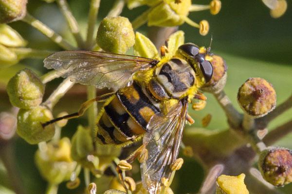 Totenkopfschwebefliege Myathro florea