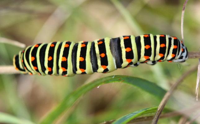 Schwalbenschwanz_Papilion machaon