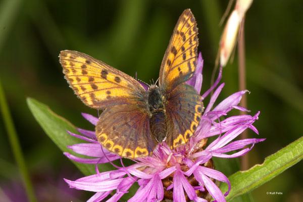 Brauner Feuerfalter Lycaena tityrus