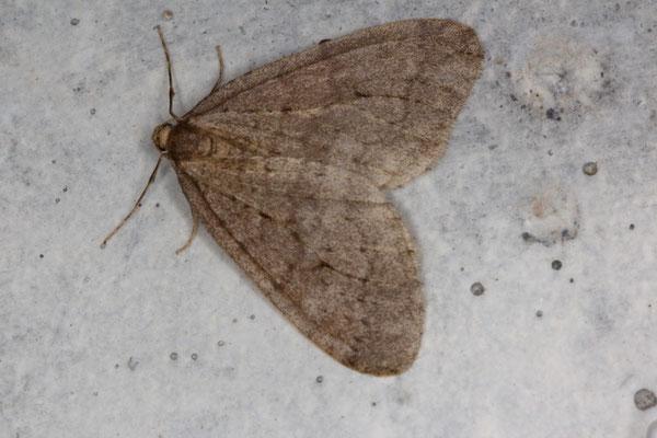 Kleiner Frostspanner Operropthera brumata