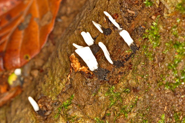 Geweihförmige Holzkeule Xylaria hypoxylon