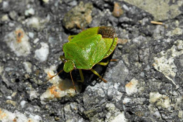 Grüne Stinkwanze Palomena prasina